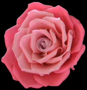 Large pink ombre rose