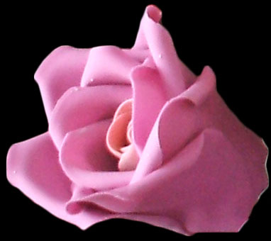 Side view of two toned pink small rose